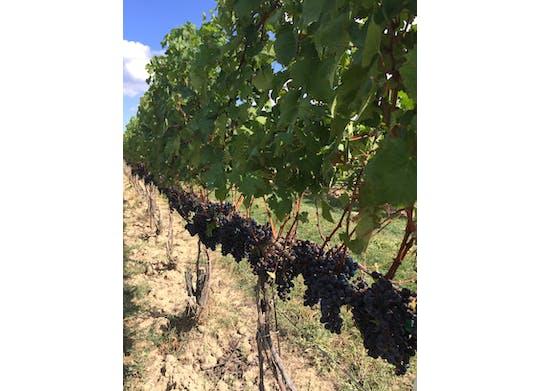 Ferrante Vine