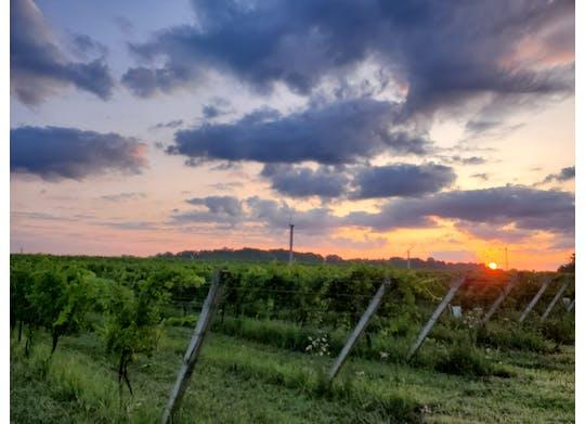 Ferrante vineyards