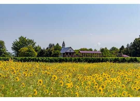 South River sunflowers