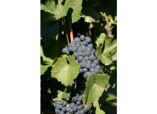 M Cellars grapes